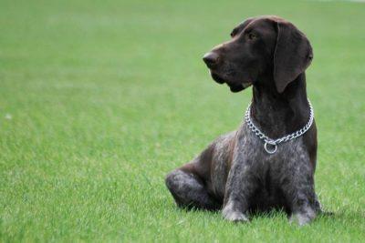 braque allemand chien chasse polyvalent
