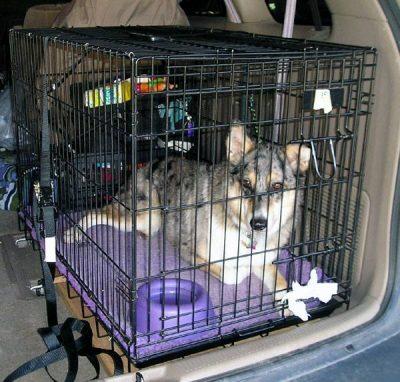 chien dans cage de transport voiture