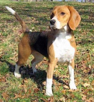 foxhound américain chien de chasse courant