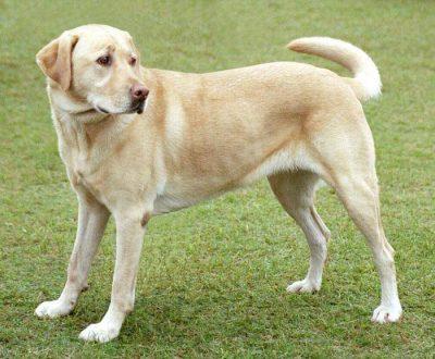 labrador chien de chasse rapporteur