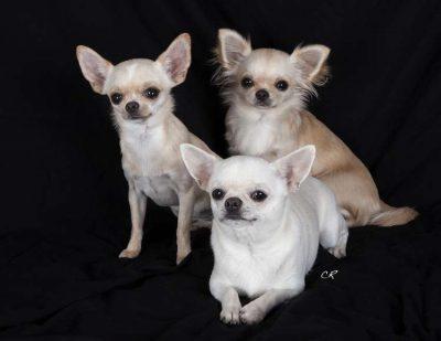 Chihuahuas chien aboie beaucoup