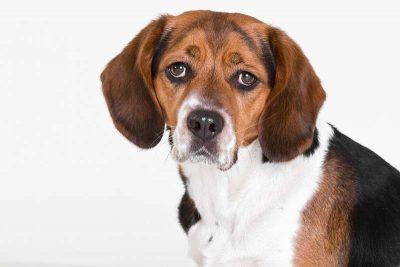 beagle petit chien aboyeur